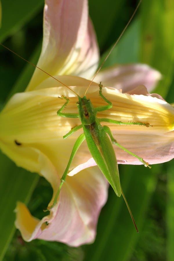 Een wijfje van een reuze het zingen sprinkhanenzitting op bloeit daylily royalty-vrije stock fotografie