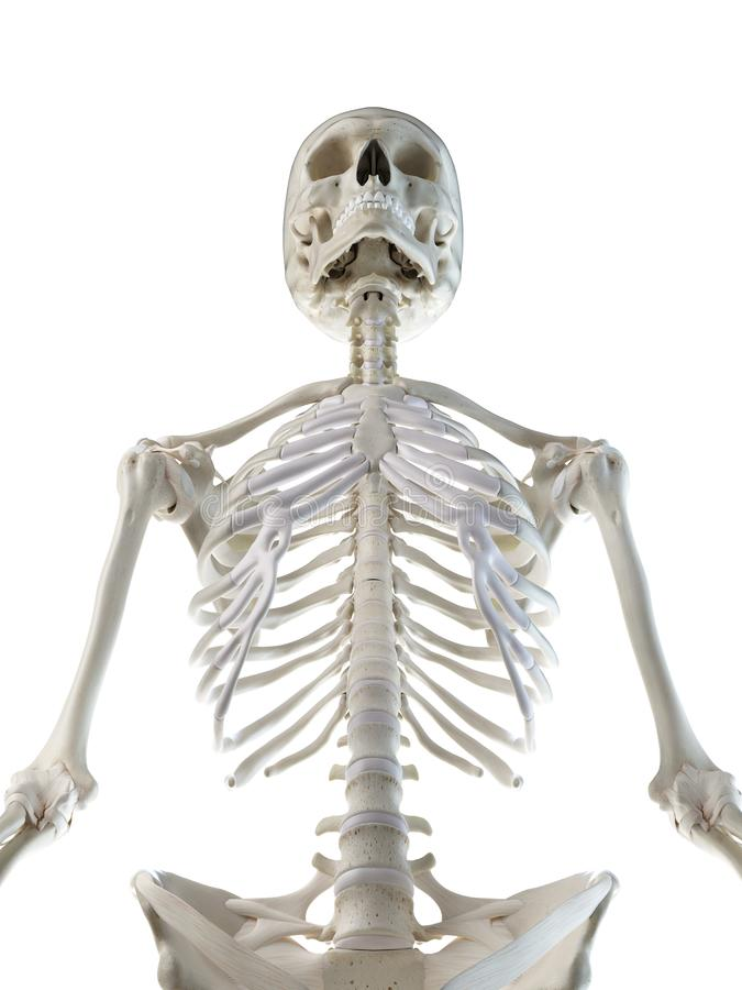 een wijfjes skeletachtig hoger lichaam royalty-vrije illustratie