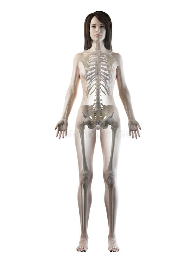 Een wijfjes skeletachtig systeem stock illustratie