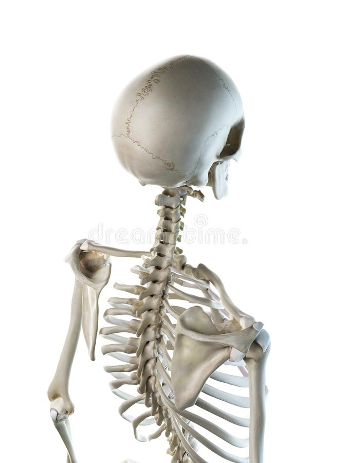 een wijfjes skeletachtige rug vector illustratie