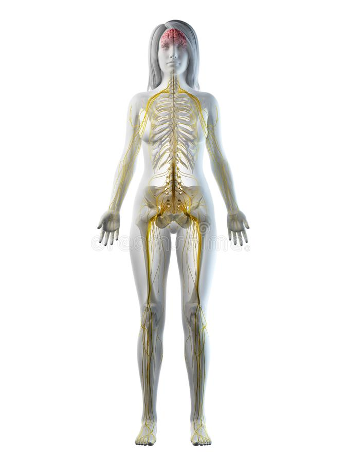 Een wijfjes zenuwstelsel royalty-vrije illustratie