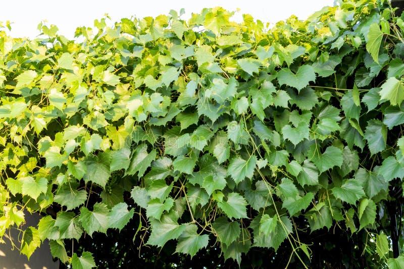 Een wijnstok met vele mooie heldergroene bladeren die van openluchtluifel hangen Het paviljoen met een dak van groene bladeren va royalty-vrije stock foto's