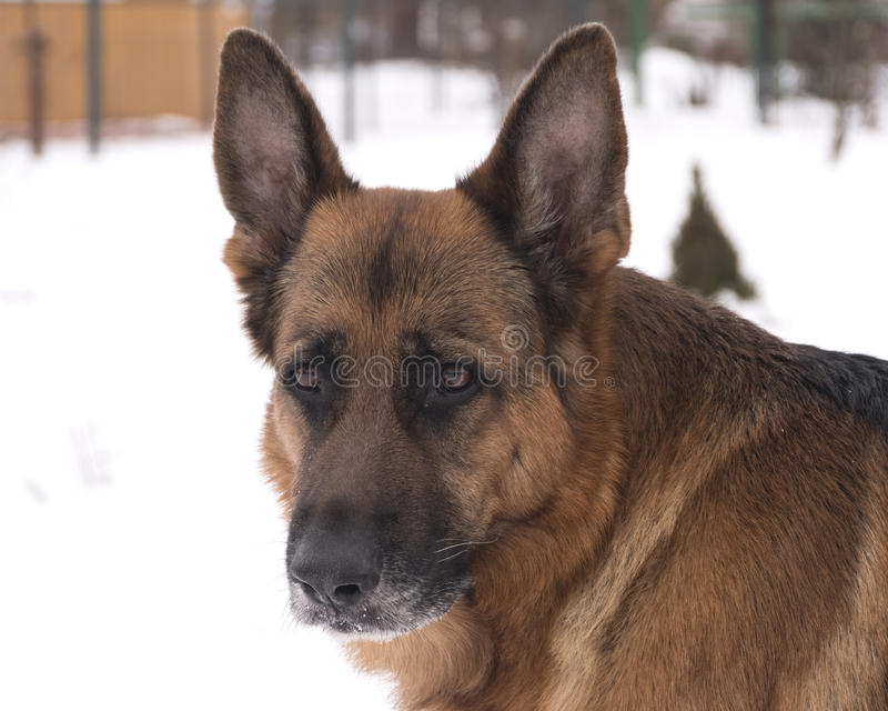 Een wijze en ervaren hond royalty-vrije stock afbeelding
