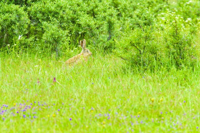 Een wild konijn in het gras stock foto's