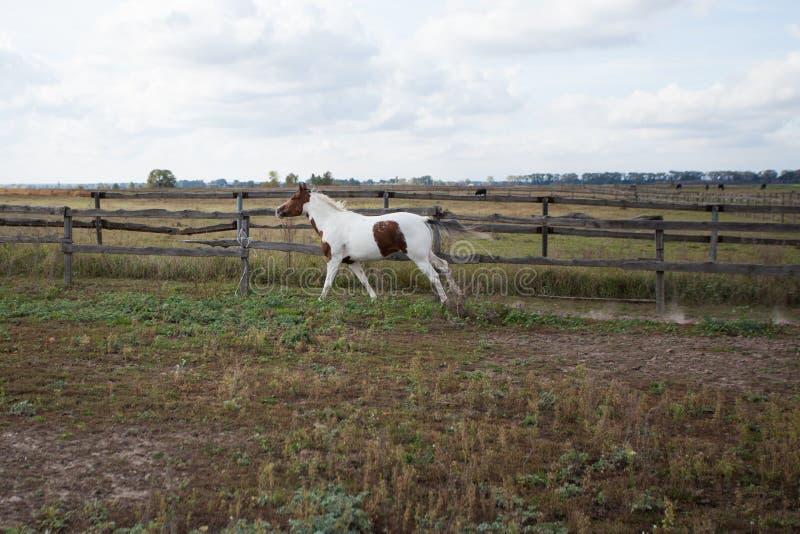 Een wild paard neemt een weide op een landbouwbedrijf door royalty-vrije stock afbeeldingen