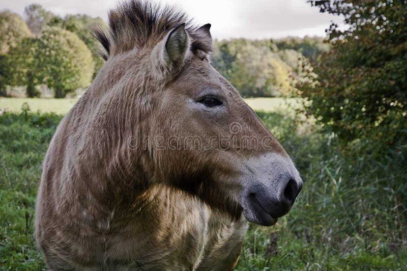 Een wild paardclose-up. stock fotografie