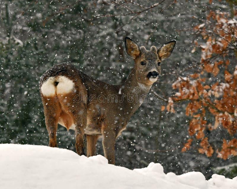 Een wild ree, Capreolus-capreolusmannetje in een sneeuw winters landschap royalty-vrije stock fotografie