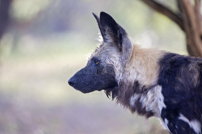 Een wilde Afrikaanse kaap/een geschilderde jachthond stock afbeelding