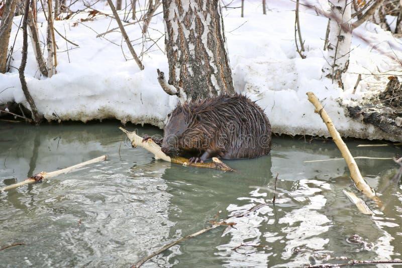 Een wilde bever in een stadspark kreeg in een vulklei met afvoerkanalen en knaagt aan de schors van de takken stock afbeelding