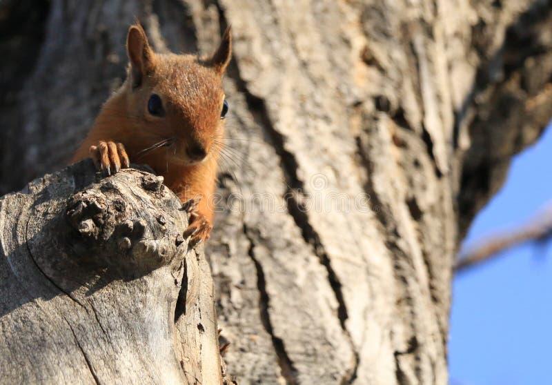 Een wilde eekhoorn royalty-vrije stock foto's