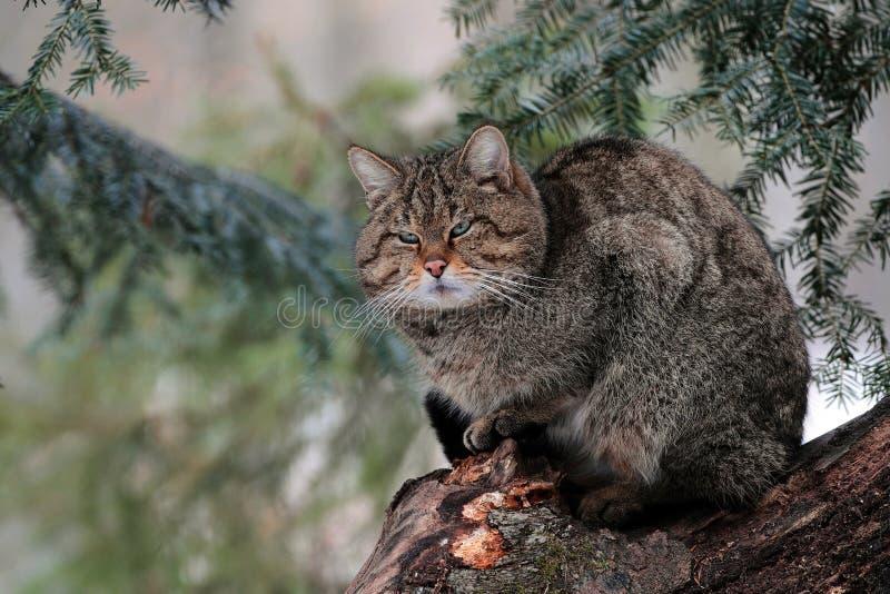 Een wilde katten mannelijke tribune op een boom in een bos van Maramures-bergen. royalty-vrije stock foto's