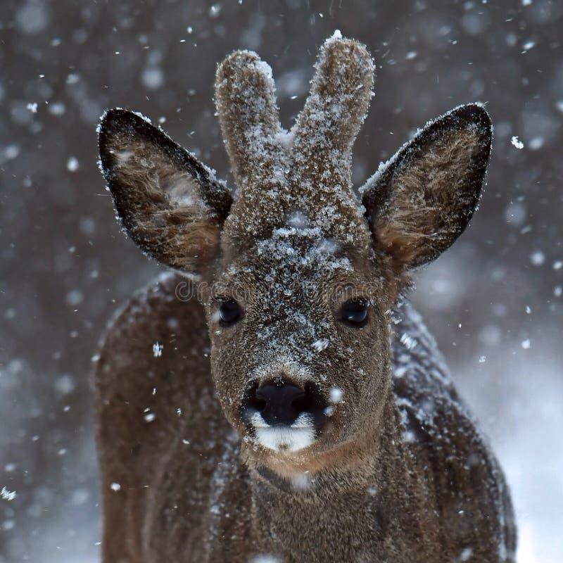 Een wilde reeën mannelijke hoofdfoto in een sneeuwstorm in winters landschap stock fotografie