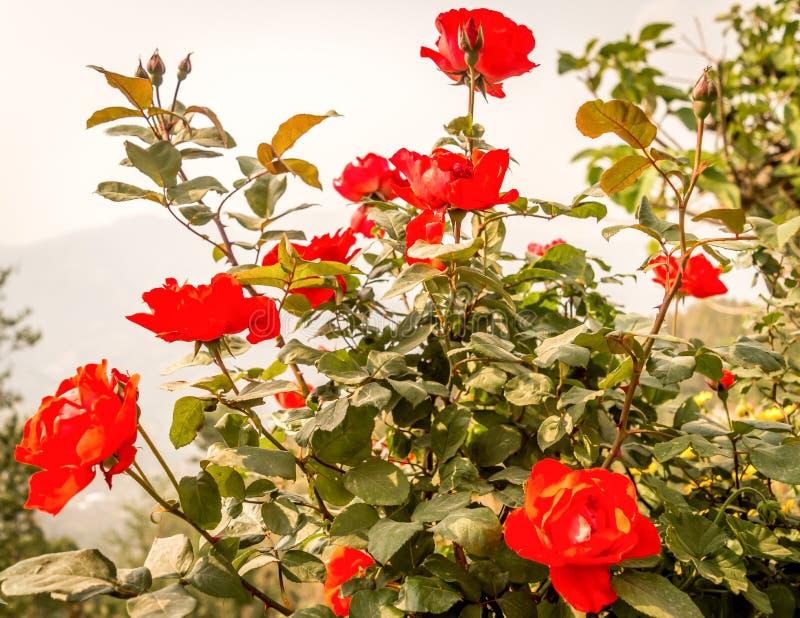 Een wilde roze boom in tuin Rosa rubiginosa een eeuwigdurende het bloeien grote opzichtige rode kleur van de sierplantenstruik me stock foto
