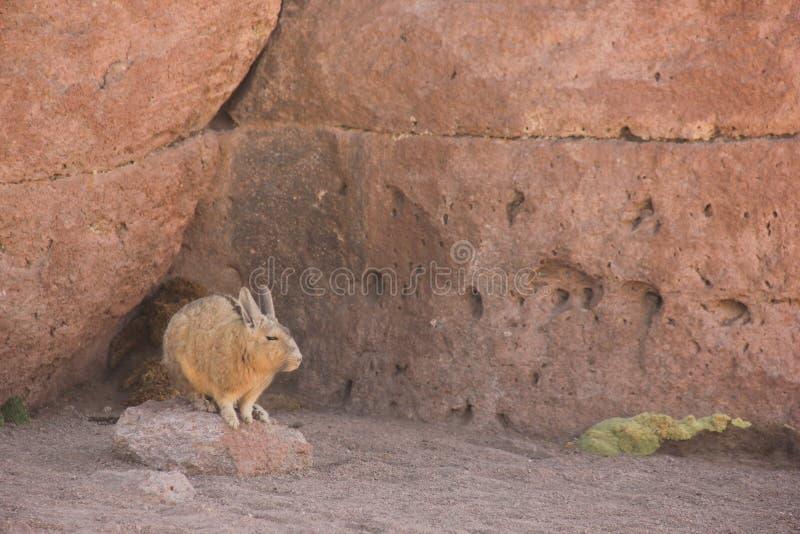 Een wilde Viscacha in Bolivië royalty-vrije stock foto