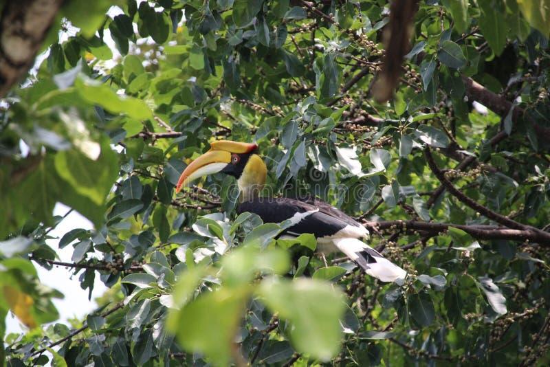 Een wilde zitting van hornbillbucerotidae in de boom en zoekt voedsel royalty-vrije stock fotografie