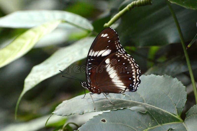 Een wit doted bruine vlinder rustend op een groen blad royalty-vrije stock foto