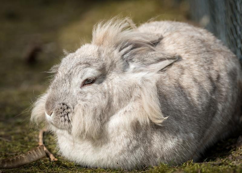 Een wit dwergkonijn die een rust nemen stock afbeelding