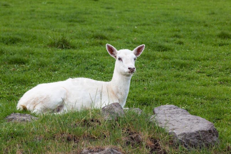 Een Wit Hert in de Lente stock foto
