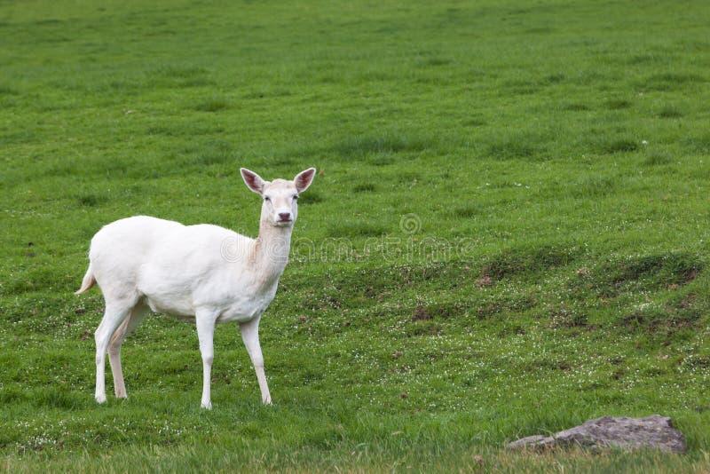 Een Wit Hert in de Lente royalty-vrije stock afbeelding