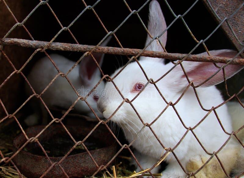 Een wit konijn zit in de kooi royalty-vrije stock afbeelding