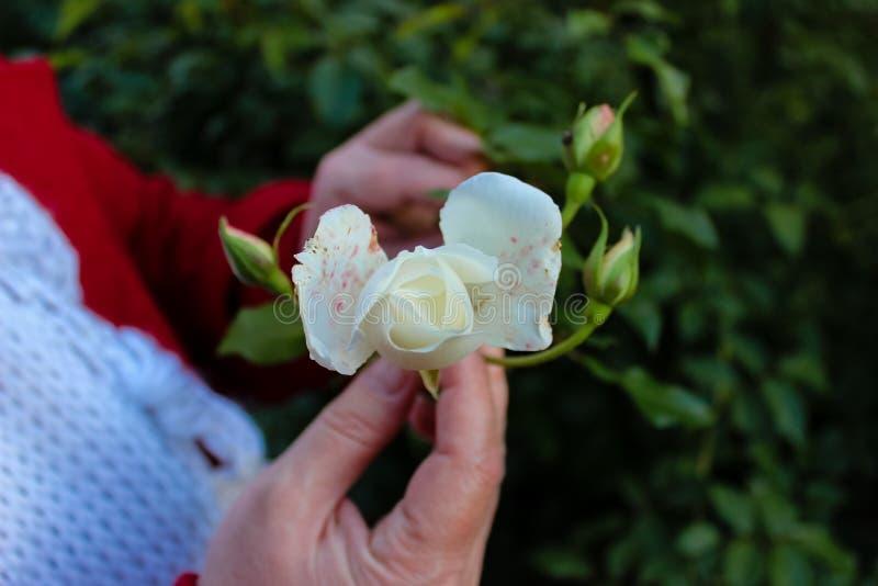 Een wit nam bloem in de handen van een vrouw toe stock foto