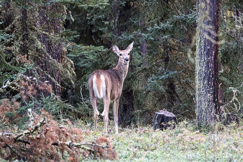 Een wit staarthert kijkt ruggen van de bosrand royalty-vrije stock foto