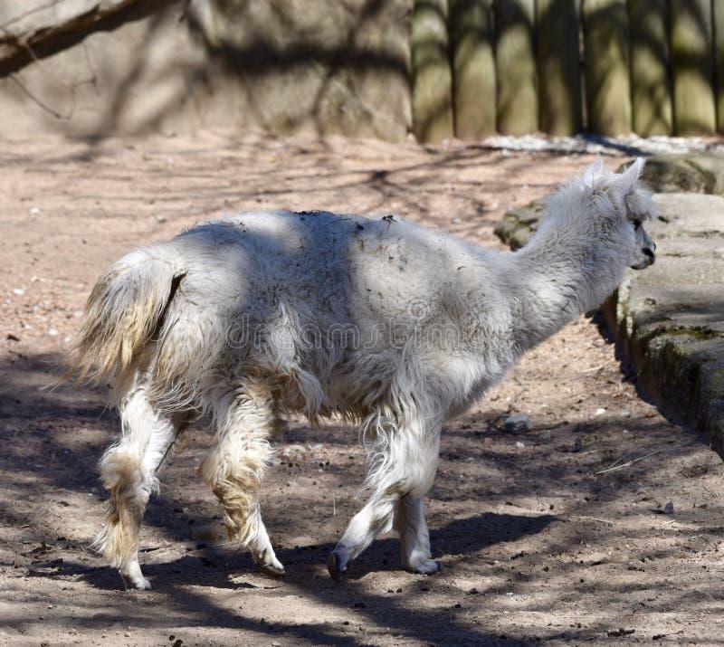 Een witte Alpaca royalty-vrije stock afbeelding