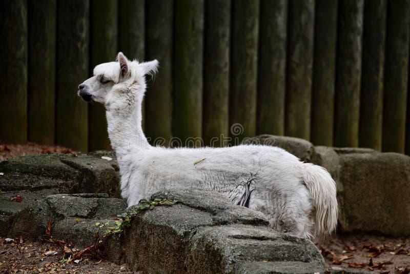 Een witte Alpaca stock afbeelding