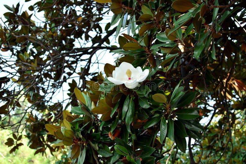 Een witte bloem van magnolia stock afbeelding