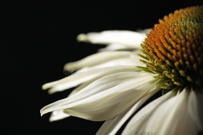 Een witte echinaceabloem stock foto's