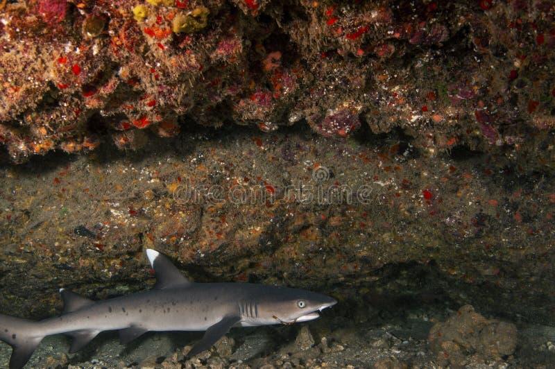 Een witte haai van de uiteindeertsader royalty-vrije stock afbeeldingen