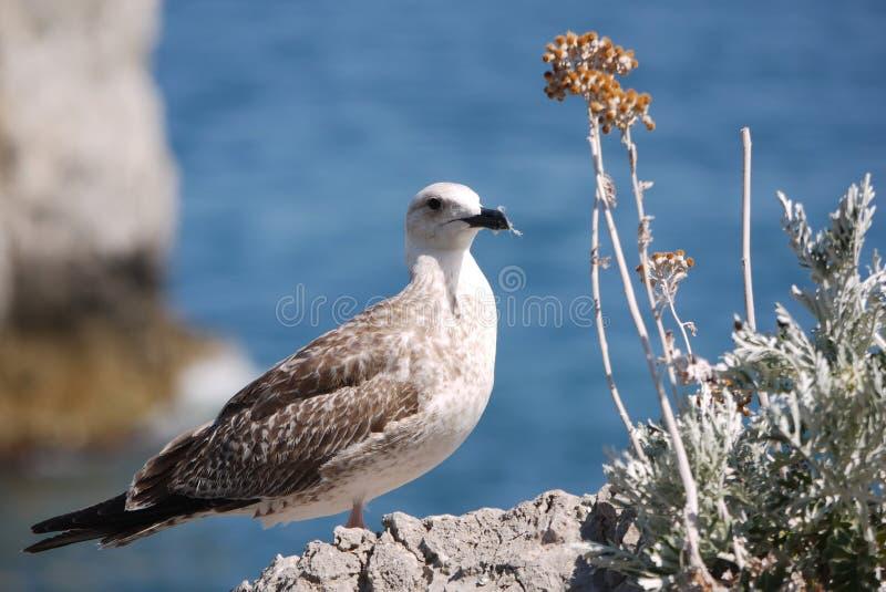 Een witte, jonge zeemeeuw zit op de kust op een rots en kijkt uit voor te doen iets stock fotografie
