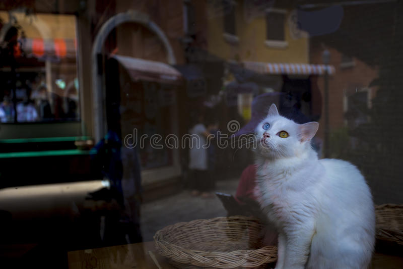 Een witte kat van het 2 kleurenoog stock foto's