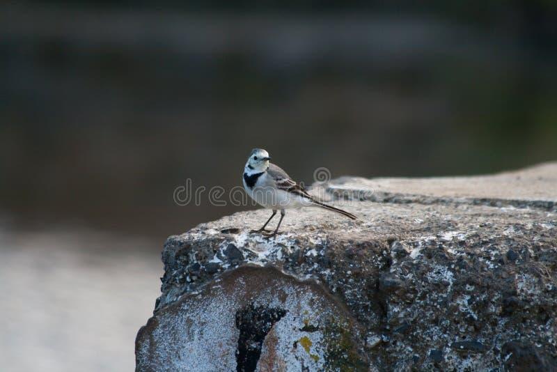 Een witte kwikstaartvogel op een rots royalty-vrije stock foto's