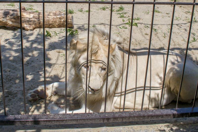 Een witte leeuw in een kooi stock afbeelding