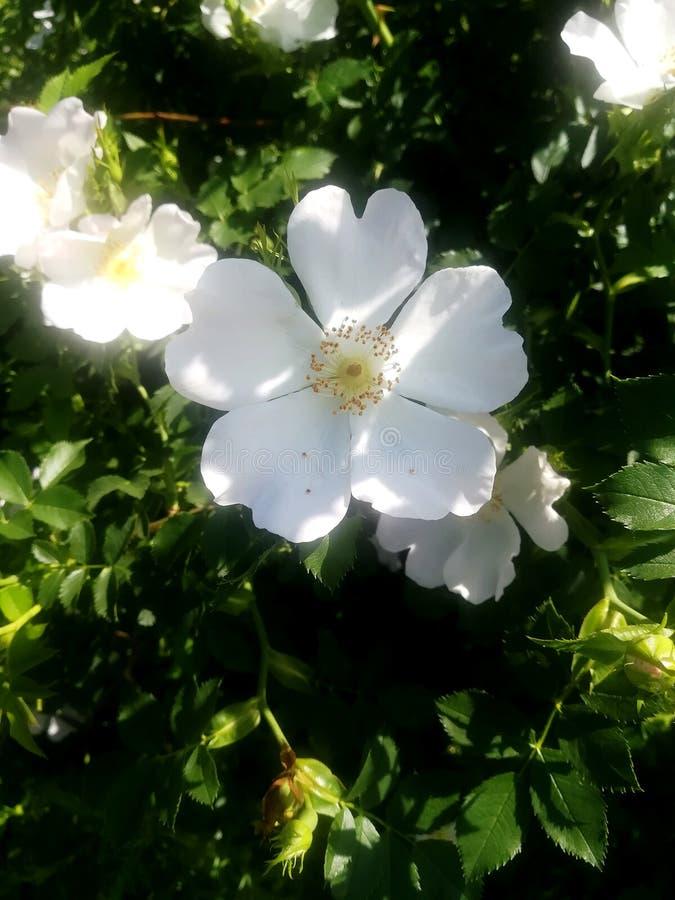Een witte mooie bloem stock fotografie