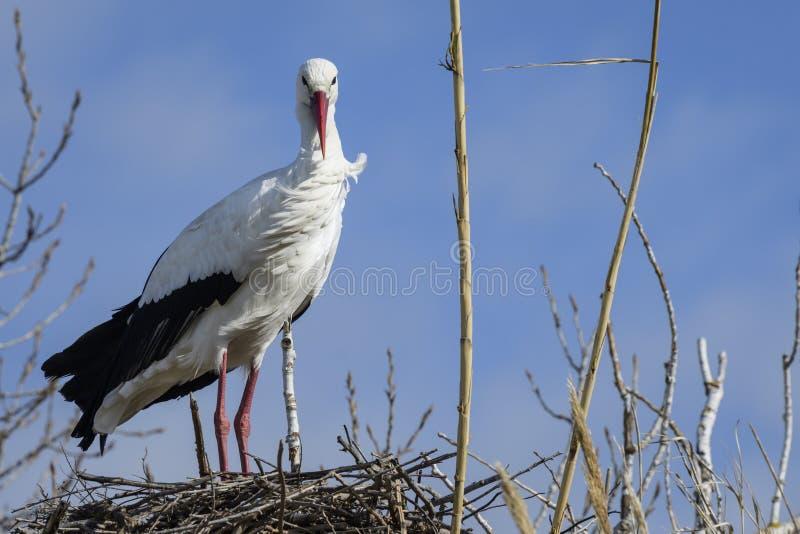 Een witte ooievaar die zich in zijn nest bevinden royalty-vrije stock foto's