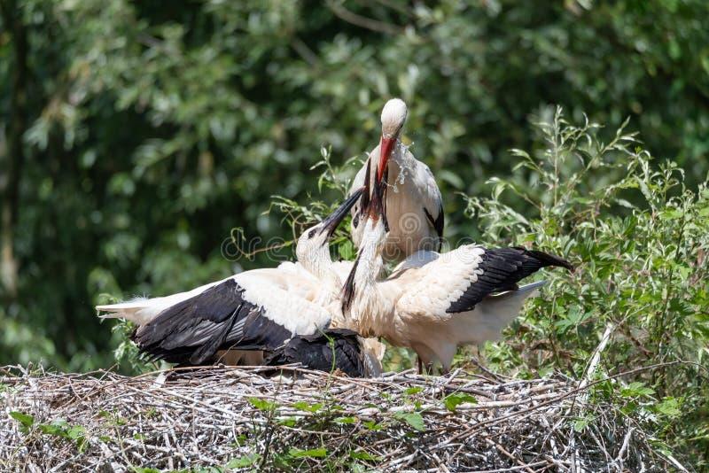 Een witte ooievaar die zijn jongelui in het nest water geven royalty-vrije stock afbeelding