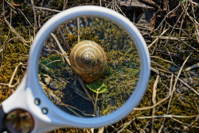 Een witte ronde loupe overdrijft een bruine slak buiten liggend op een groen mos royalty-vrije stock foto