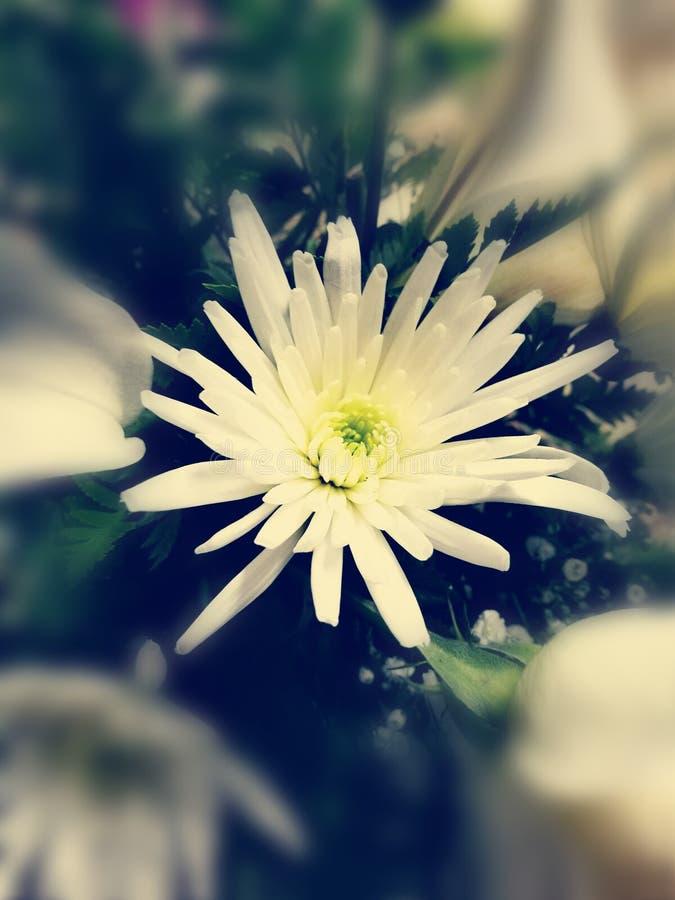 Een witte stekelige chrysant stock fotografie