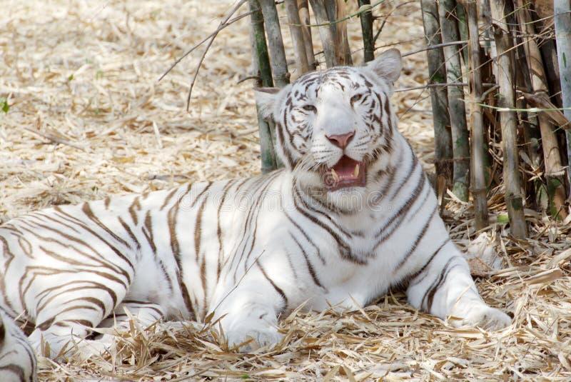 Een witte tijger, die in de schaduw zit stock afbeeldingen