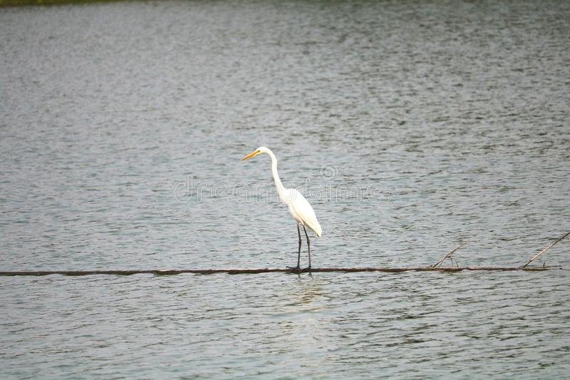 Een witte vogel genoemd aigrette stock foto's