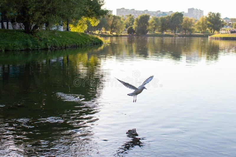 Een witte zeemeeuw met uitgespreide vleugels vliegt over het water Grote vijver met een bezinning van de vogel op het water stock foto