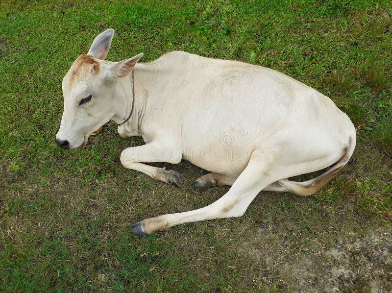 Een witte zitting van de kleuren Indische koe en het rusten op de weide stock foto's