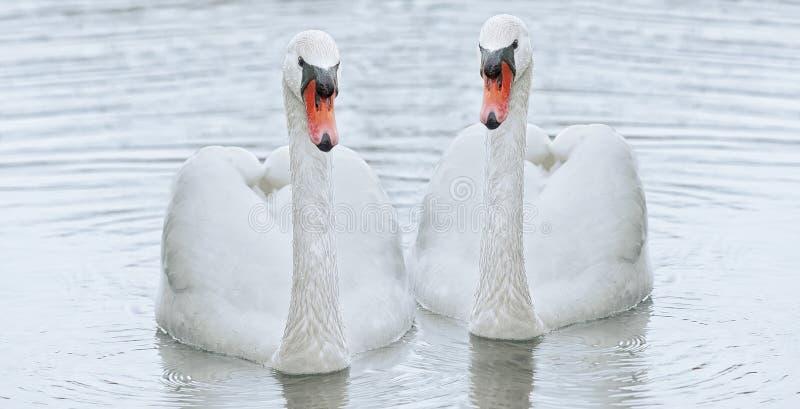 Een witte zwaan drijft in het water royalty-vrije stock foto