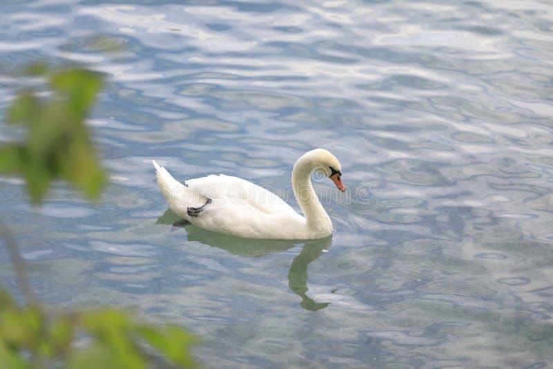 Een witte zwaan in het water van een meer, dichtbij de kust stock foto's