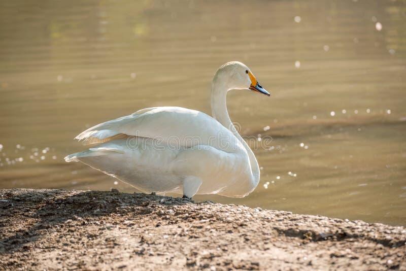 Een witte zwaan op de kust royalty-vrije stock fotografie