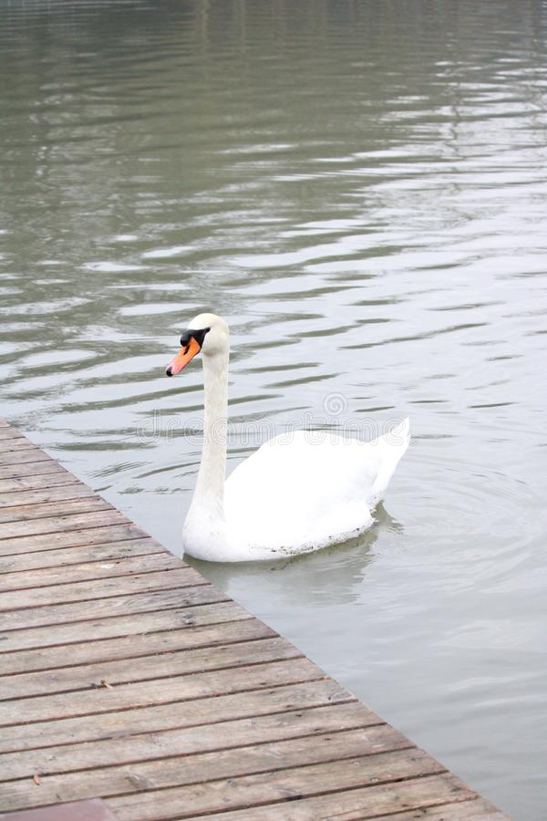 Een witte zwaan in een vijver dichtbij ponton royalty-vrije stock afbeeldingen