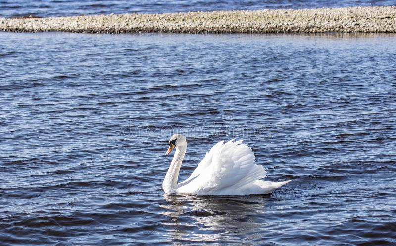 Een witte zwaan zwemt in een meer op een zonnige winderige dag stock foto