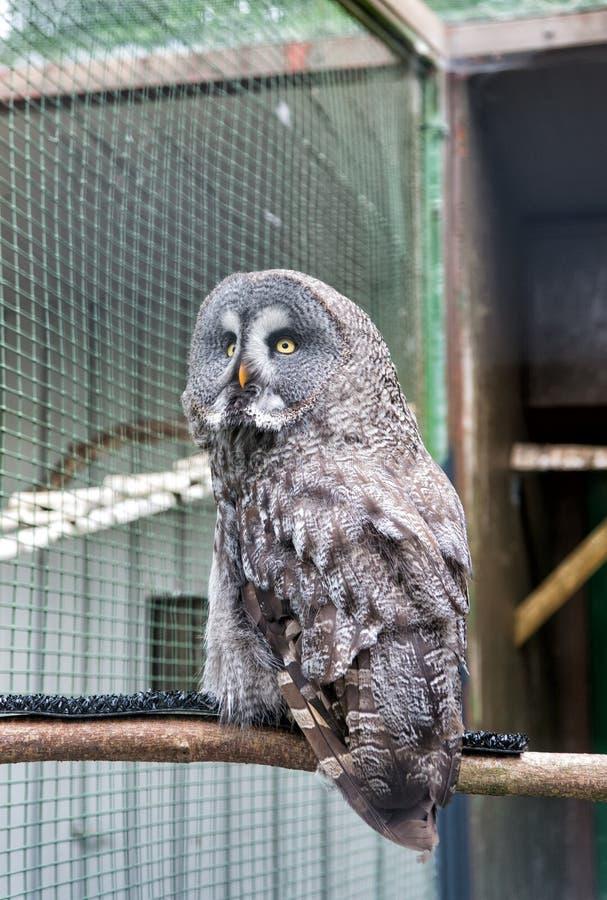Een woest roofdier Een roofvogel of de roofvogel streek in dierentuinkooi neer Prooivogel van typische uilfamilie met grijze cryp stock fotografie